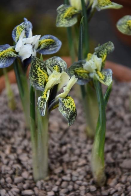 Iris Splish Splash