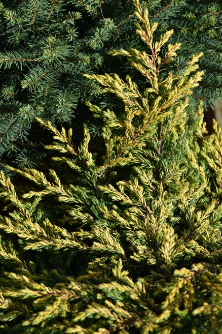 Juniperus communis Goldschatz