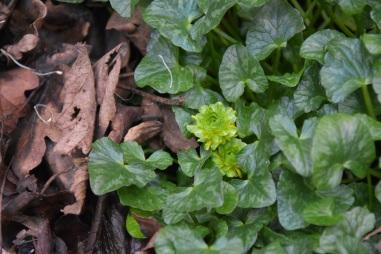 Ficaria verna Green Petal