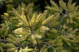 Picea abies Geel