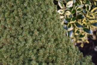Picea glauca Maygold
