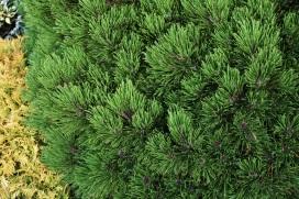 Picea leucodermis Schmidtii