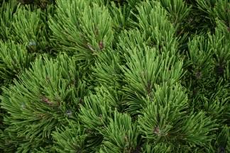 Pinus leucordermis Schmidtii