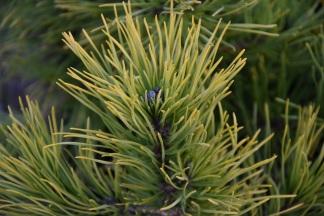 Pinus mugo Jalubi