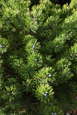Pinus mugo Klostergrin