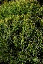 Pinus mugo Pumilia