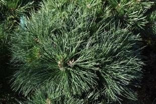 Pinus nigra Brepo