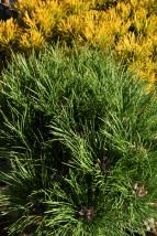 Pinus nigra Marie Bregeon