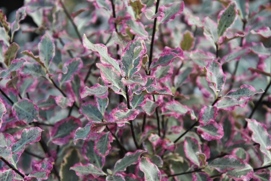 Pittosporum Elizabeth