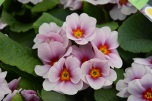 Primrose Antique Silver