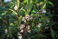 Sarcococca hookeriana dygna Purple Stem 2