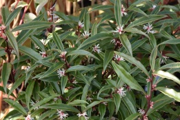 Sarcococca hookeriana Purple Stem