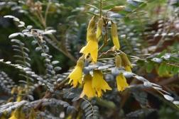 Sophora microphylla Sun Kind