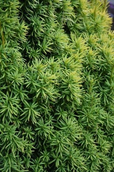 Taxus baccata Standishii