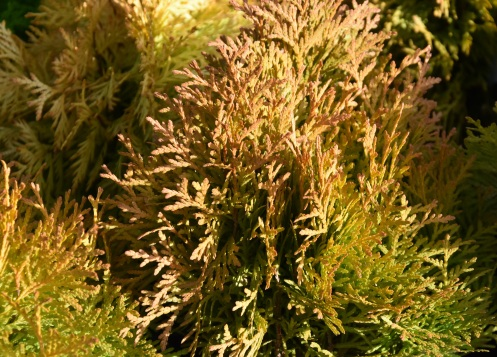 Thuja occidentalis Amber Glow