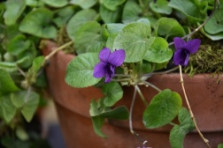 Viola odorata Pritchards Russian