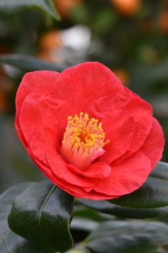 Camellia Satan's Robe