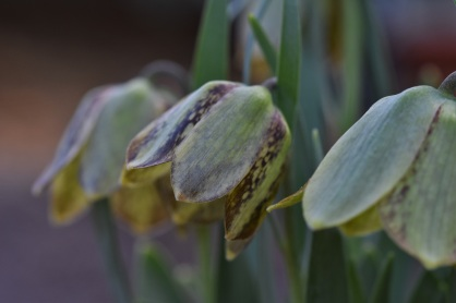 Fritillaria crassifolia