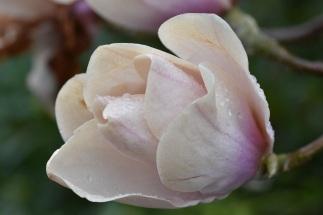 Magnolia Milky Way