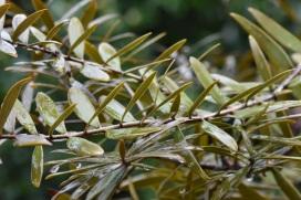 Agathis australis