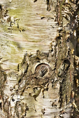 Betula utilis Werrington