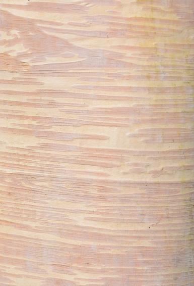 Betula ermanii Grayswood Hill
