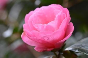 Camellia Brian