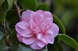Camellia maliflora