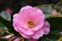 Camellia The Duchess of Cornwall