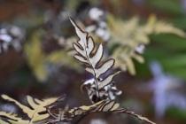 Cheilanthes argentea