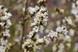 White form, Daphne mezereum