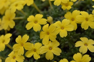Dionysia aretioides Large Flowered Thrum Eyed