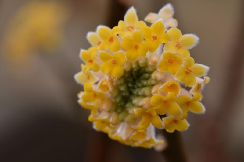Edgworthia chrysantha Grandiflora