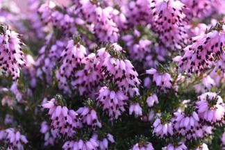 Erica x darleyensis Furzey