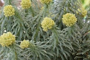 Euphorbia Ascot Moonbeam