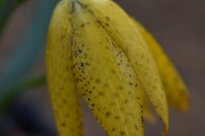 Fritillaria aurea