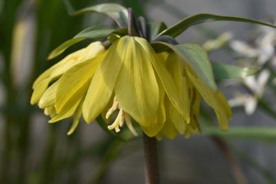 Fritillaria chitralensis