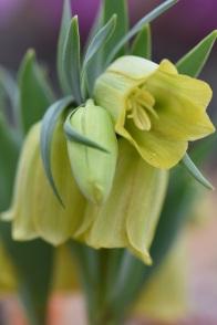 Fritillaria crassifolia subsp kurdica