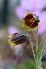 Fritillaria ehrhartii
