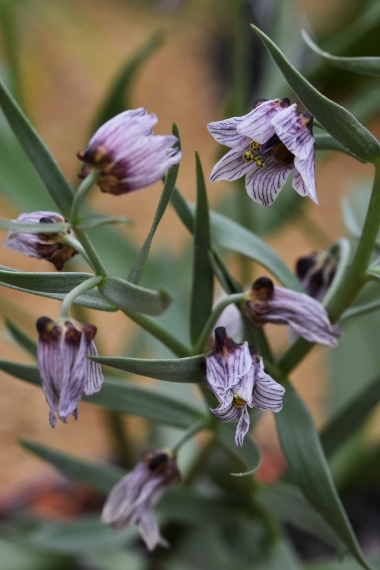 Fritillaria karelinii