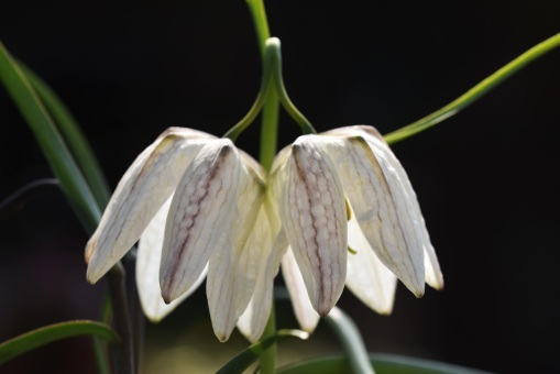White form of Fritillary meleagris
