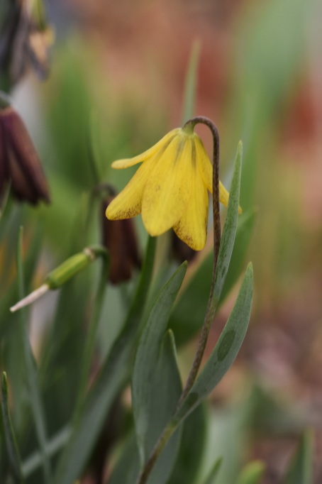 Fritillaria serpenticola