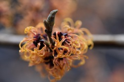 Hamamelis Gingerbread