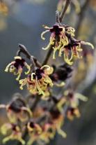 Hamamelis japonica Rubra