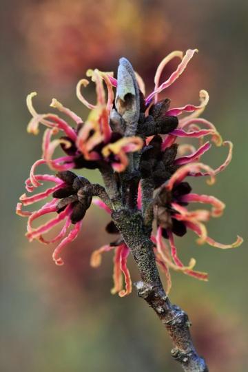 Hamamelis x intermedia Copper Cascade