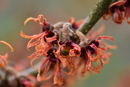Hamamelis x intermedia Friesia