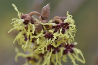 Hamamelis x japonica Sulphurea