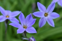 Ipheion Wisley Blue