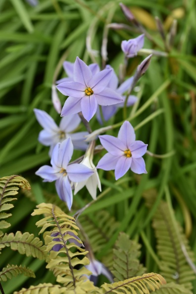 Ipheion uniflorum Wisley Blue