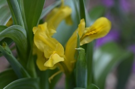 Iris Pamir Lemon